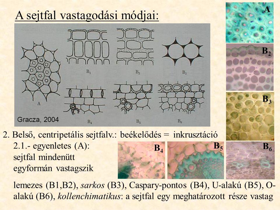 A sejtfal vastagodási módjai: 2. Belső, centripetális sejtfalv.: beékelődés = inkrusztáció 2.1.- egyenletes (A): sejtfal mindenütt egyformán vastagszi