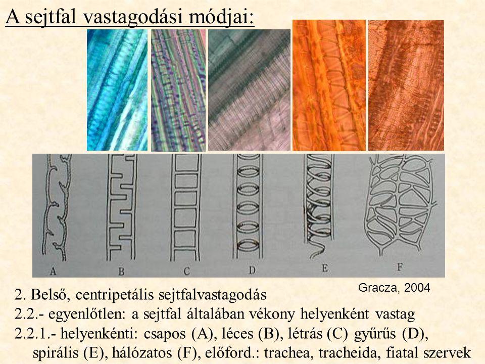 A sejtfal vastagodási módjai: 2. Belső, centripetális sejtfalvastagodás 2.2.- egyenlőtlen: a sejtfal általában vékony helyenként vastag 2.2.1.- helyen