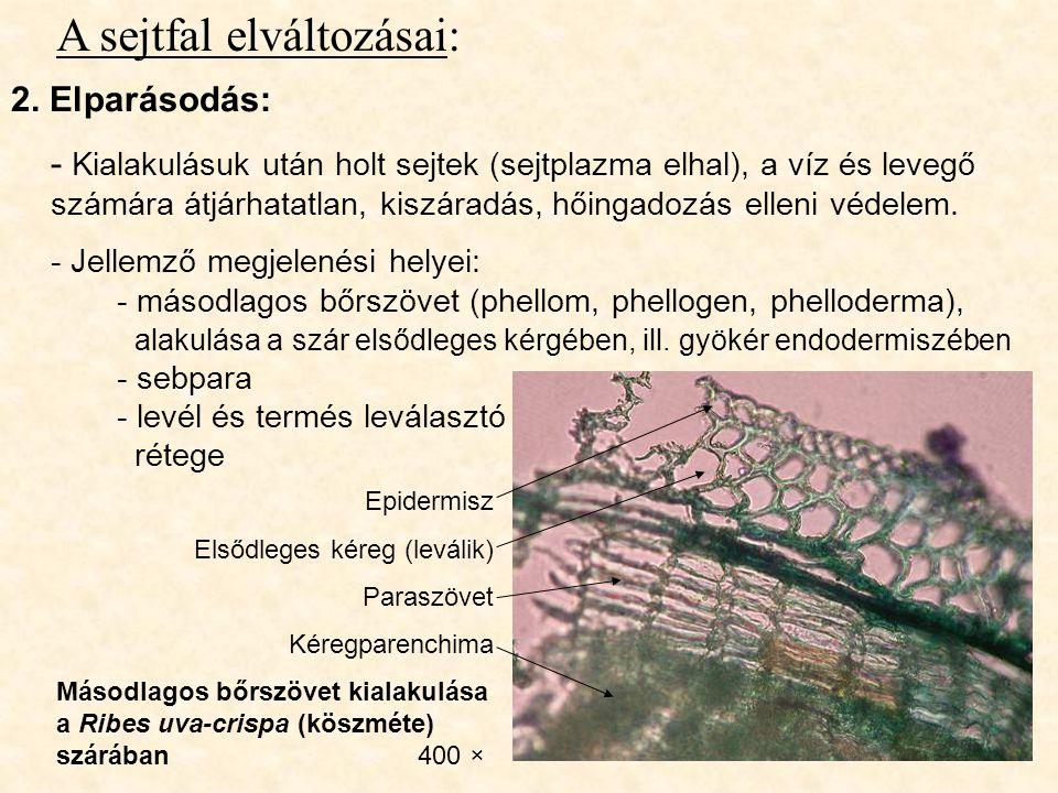 A sejtfal elváltozásai: 2. Elparásodás: - Kialakulásuk után holt sejtek (sejtplazma elhal), a víz és levegő számára átjárhatatlan, kiszáradás, hőingad