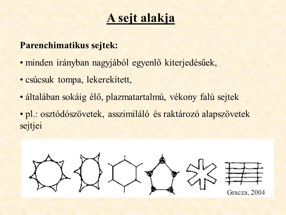 A sejt alakja Gracza, 2004 Parenchimatikus sejtek: minden irányban nagyjából egyenlő kiterjedésűek, csúcsuk tompa, lekerekített, általában sokáig élő,