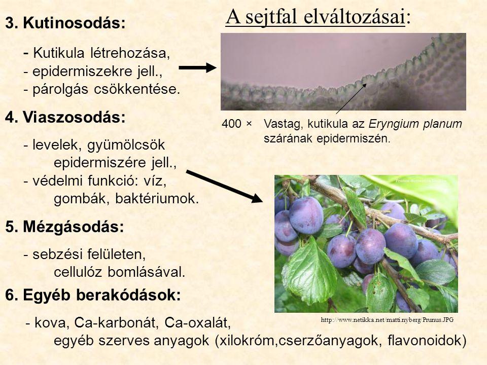 A sejtfal elváltozásai: 3. Kutinosodás: - Kutikula létrehozása, - epidermiszekre jell., - párolgás csökkentése. 4. Viaszosodás: - levelek, gyümölcsök
