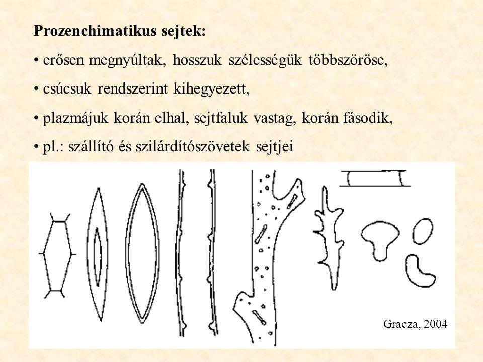 Gracza, 2004 Prozenchimatikus sejtek: erősen megnyúltak, hosszuk szélességük többszöröse, csúcsuk rendszerint kihegyezett, plazmájuk korán elhal, sejt