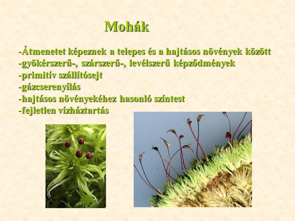 Mohák -Átmenetet képeznek a telepes és a hajtásos növények között -gyökérszerű-, szárszerű-, levélszerű képződmények -primitív szállítósejt -gázcseren
