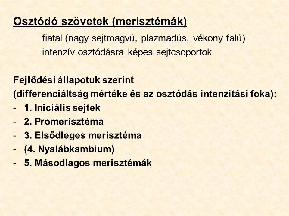 Osztódó szövetek (merisztémák) fiatal (nagy sejtmagvú, plazmadús, vékony falú) intenzív osztódásra képes sejtcsoportok Fejlődési állapotuk szerint (di