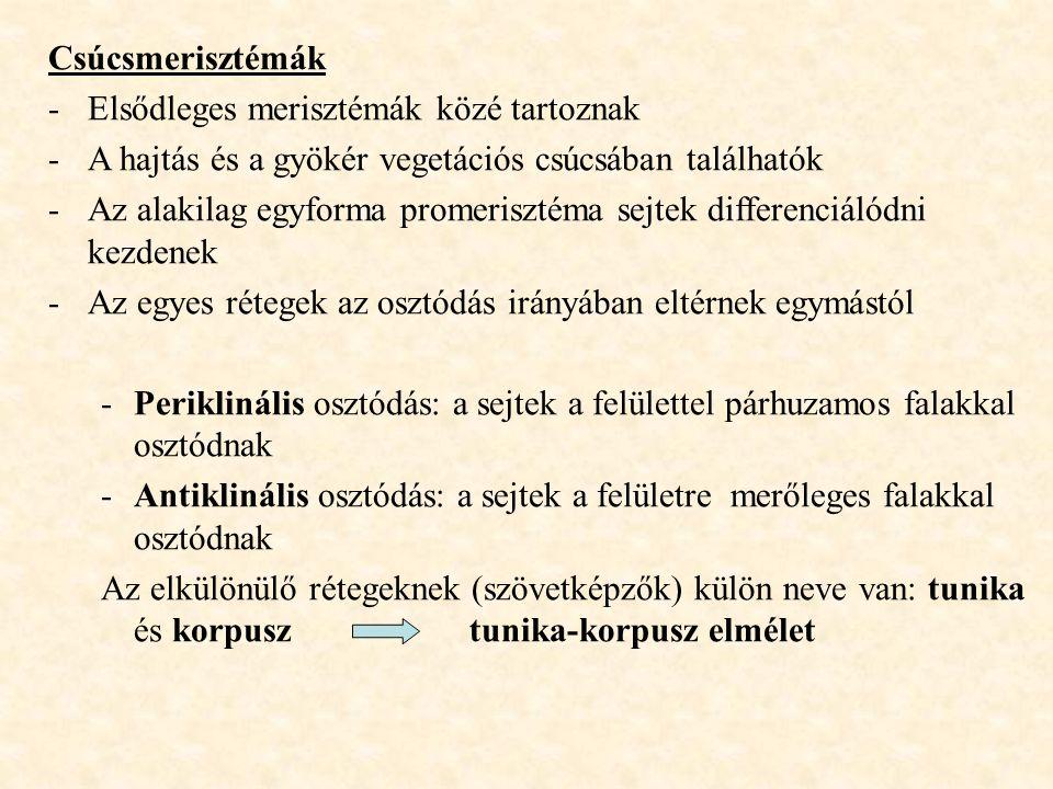 Csúcsmerisztémák -Elsődleges merisztémák közé tartoznak -A hajtás és a gyökér vegetációs csúcsában találhatók -Az alakilag egyforma promerisztéma sejt