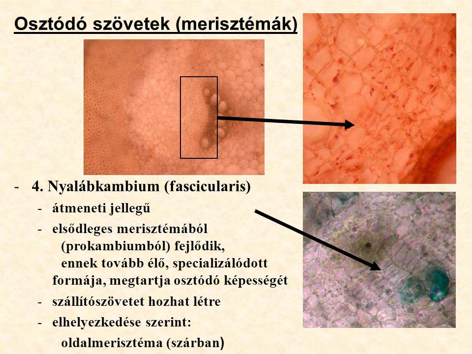 Osztódó szövetek (merisztémák) -4. Nyalábkambium (fascicularis) -átmeneti jellegű -elsődleges merisztémából (prokambiumból) fejlődik, ennek tovább élő