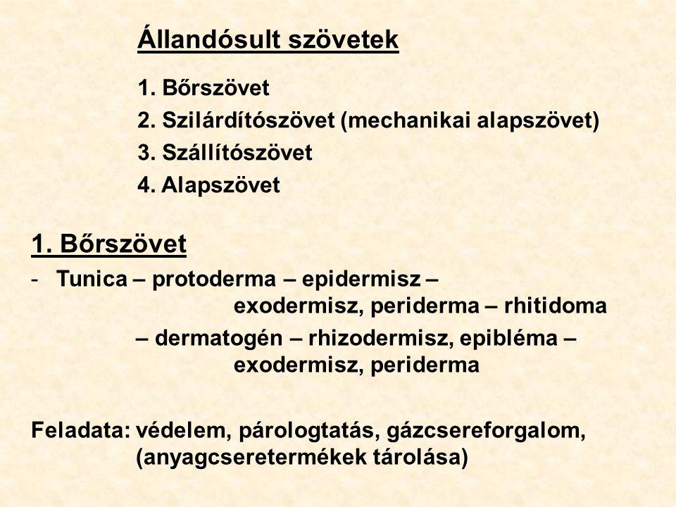 Állandósult szövetek 1. Bőrszövet 2. Szilárdítószövet (mechanikai alapszövet) 3. Szállítószövet 4. Alapszövet 1. Bőrszövet -Tunica – protoderma – epid