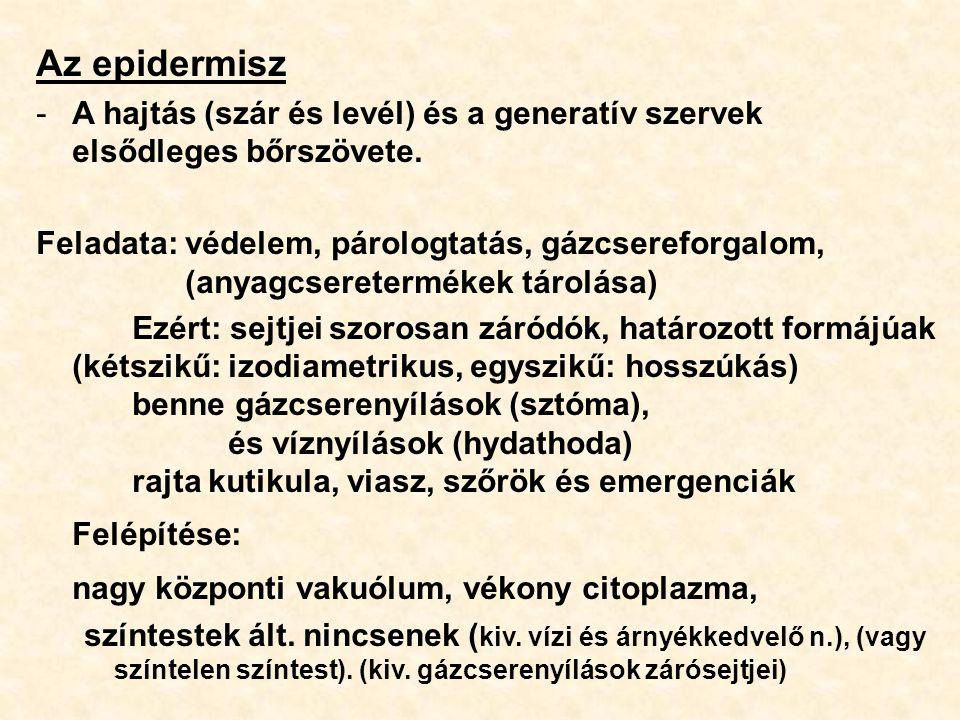 Az epidermisz -A hajtás (szár és levél) és a generatív szervek elsődleges bőrszövete. Feladata: védelem, párologtatás, gázcsereforgalom, (anyagcserete