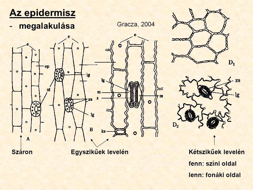 Az epidermisz -megalakulása Száron Egyszikűek levelénKétszikűek levelén fenn: színi oldal lenn: fonáki oldal Gracza, 2004