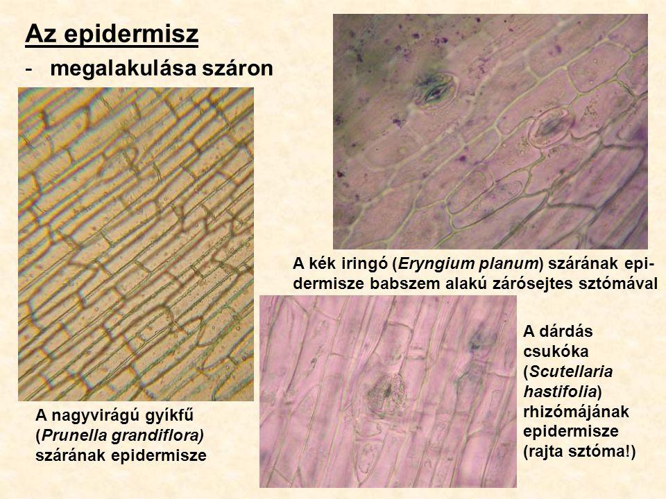 Az epidermisz -megalakulása száron A nagyvirágú gyíkfű (Prunella grandiflora) szárának epidermisze A kék iringó (Eryngium planum) szárának epi- dermis