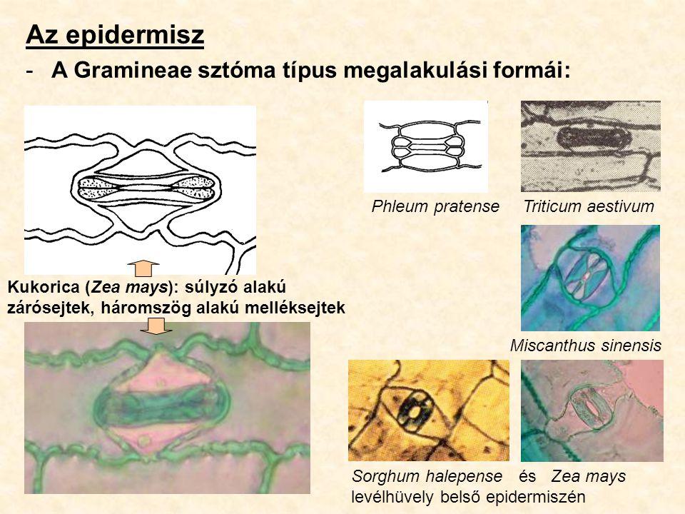 Az epidermisz -A Gramineae sztóma típus megalakulási formái: Kukorica (Zea mays): súlyzó alakú zárósejtek, háromszög alakú melléksejtek Phleum pratens