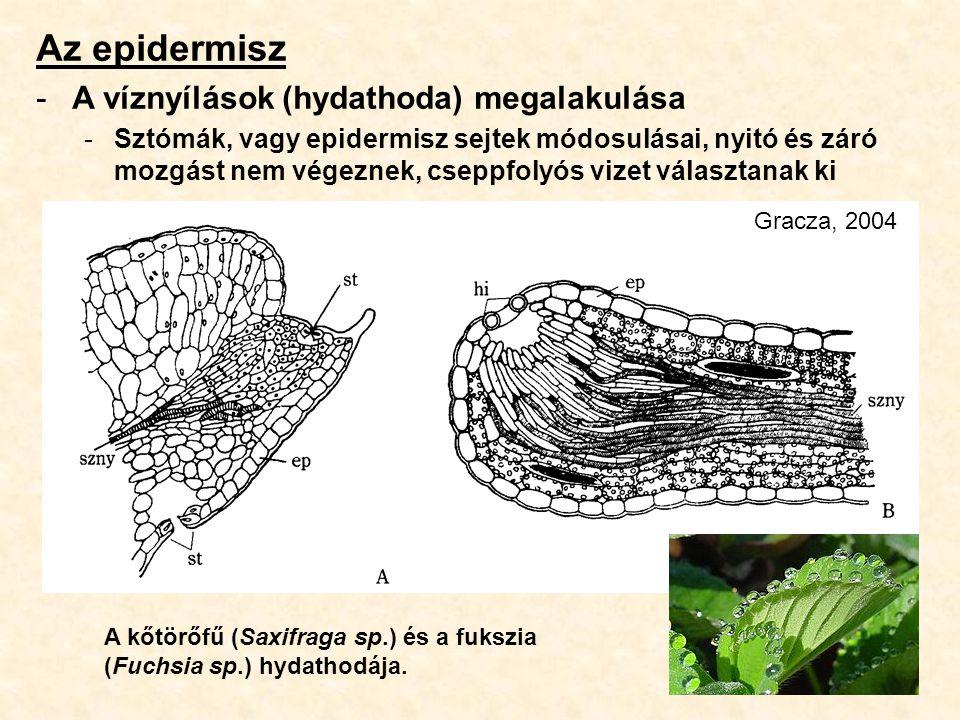 Az epidermisz -A víznyílások (hydathoda) megalakulása -Sztómák, vagy epidermisz sejtek módosulásai, nyitó és záró mozgást nem végeznek, cseppfolyós vi