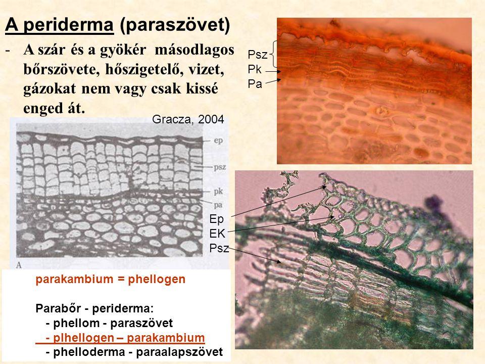 A periderma (paraszövet) -A szár és a gyökér másodlagos bőrszövete, hőszigetelő, vizet, gázokat nem vagy csak kissé enged át. Psz Pk Pa Ep EK Psz Grac