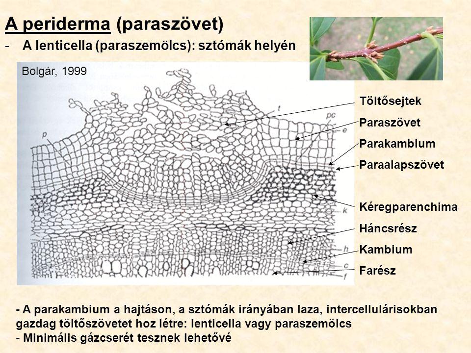 A periderma (paraszövet) -A lenticella (paraszemölcs): sztómák helyén Töltősejtek Paraszövet Parakambium Paraalapszövet Kéregparenchima Háncsrész Kamb
