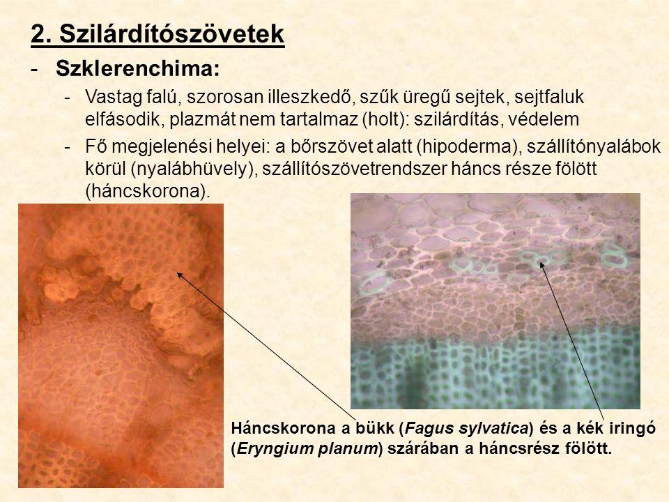 2. Szilárdítószövetek -Szklerenchima: -Vastag falú, szorosan illeszkedő, szűk üregű sejtek, sejtfaluk elfásodik, plazmát nem tartalmaz (holt): szilárd