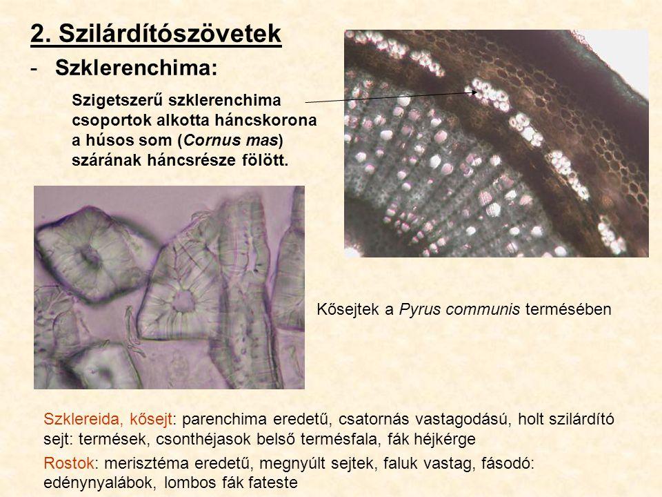 2. Szilárdítószövetek -Szklerenchima: Szklereida, kősejt: parenchima eredetű, csatornás vastagodású, holt szilárdító sejt: termések, csonthéjasok bels