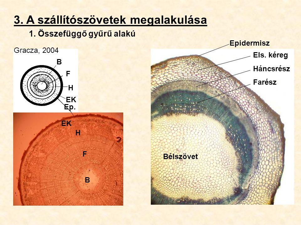 3. A szállítószövetek megalakulása 1. Összefüggő gyűrű alakú Gracza, 2004 F H Bélszövet B Els. kéreg Háncsrész Farész F H EK B Ep. Epidermisz