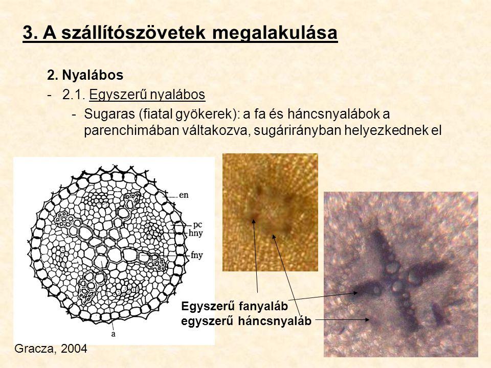 3. A szállítószövetek megalakulása 2. Nyalábos -2.1. Egyszerű nyalábos -Sugaras (fiatal gyökerek): a fa és háncsnyalábok a parenchimában váltakozva, s