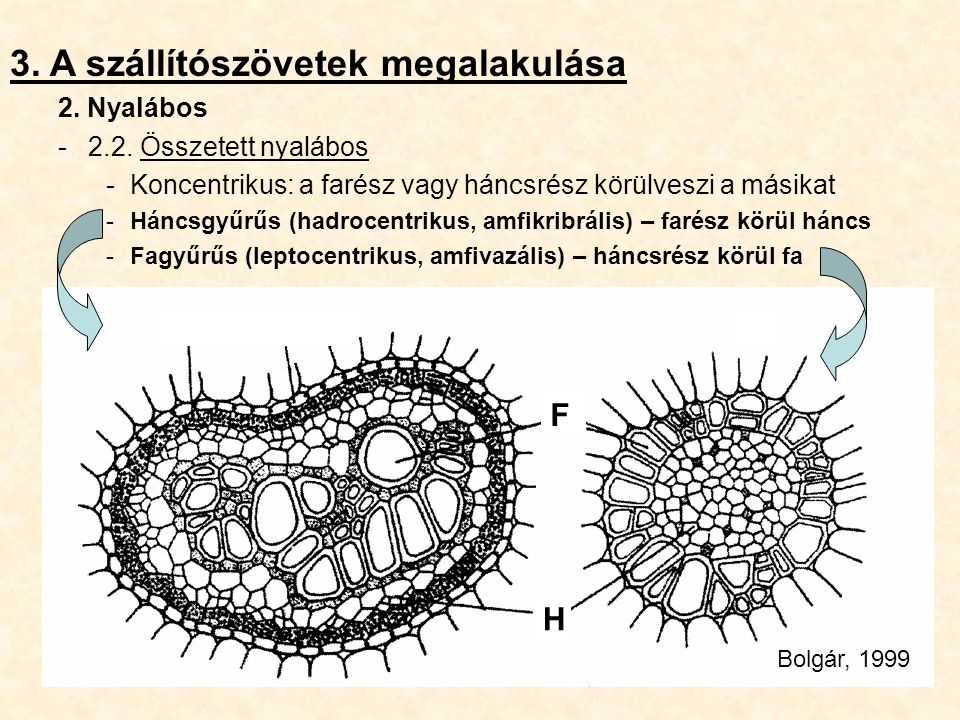 3. A szállítószövetek megalakulása 2. Nyalábos -2.2. Összetett nyalábos -Koncentrikus: a farész vagy háncsrész körülveszi a másikat -Háncsgyűrűs (hadr