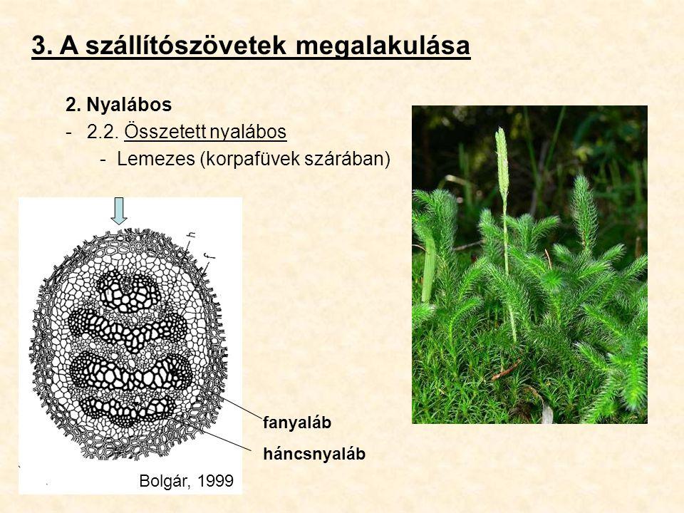 3. A szállítószövetek megalakulása 2. Nyalábos -2.2. Összetett nyalábos -Lemezes (korpafüvek szárában) fanyaláb háncsnyaláb Bolgár, 1999