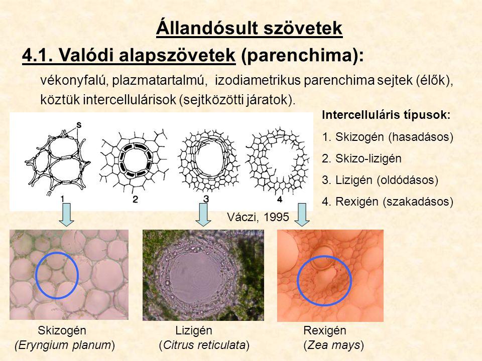 Állandósult szövetek 4.1. Valódi alapszövetek (parenchima): vékonyfalú, plazmatartalmú, izodiametrikus parenchima sejtek (élők), köztük intercellulári