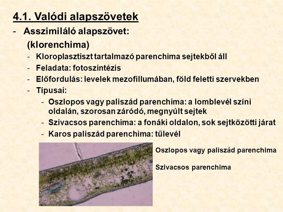 4.1. Valódi alapszövetek -Asszimiláló alapszövet: (klorenchima) -Kloroplasztiszt tartalmazó parenchima sejtekből áll -Feladata: fotoszintézis -Előford