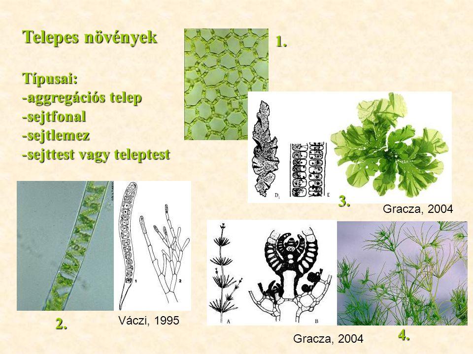 Telepes növények Típusai: -aggregációs telep -sejtfonal -sejtlemez -sejttest vagy teleptest Váczi, 1995 Gracza, 2004 2. 1. 3. 4.