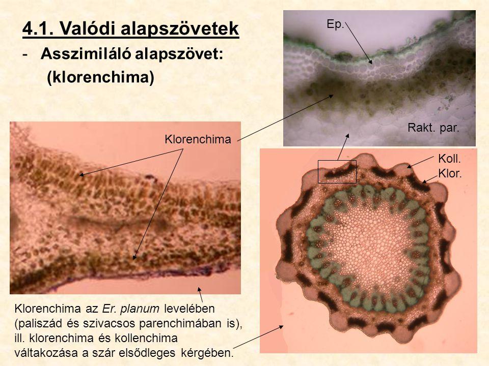 4.1. Valódi alapszövetek -Asszimiláló alapszövet: (klorenchima) Klorenchima az Er. planum levelében (paliszád és szivacsos parenchimában is), ill. klo