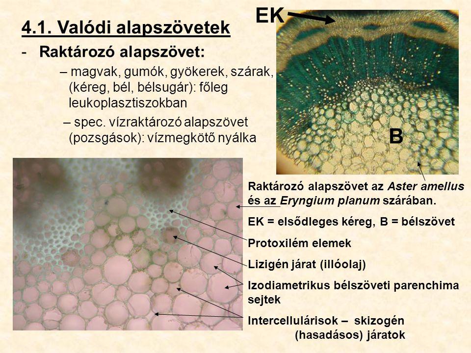 4.1. Valódi alapszövetek -Raktározó alapszövet: – magvak, gumók, gyökerek, szárak, (kéreg, bél, bélsugár): főleg leukoplasztiszokban – spec. vízraktár