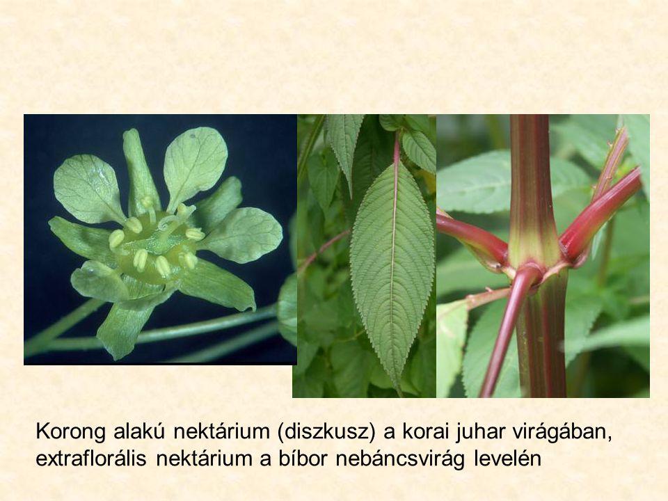 Korong alakú nektárium (diszkusz) a korai juhar virágában, extraflorális nektárium a bíbor nebáncsvirág levelén