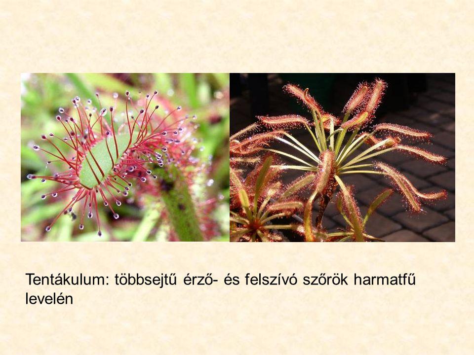 Tentákulum: többsejtű érző- és felszívó szőrök harmatfű levelén
