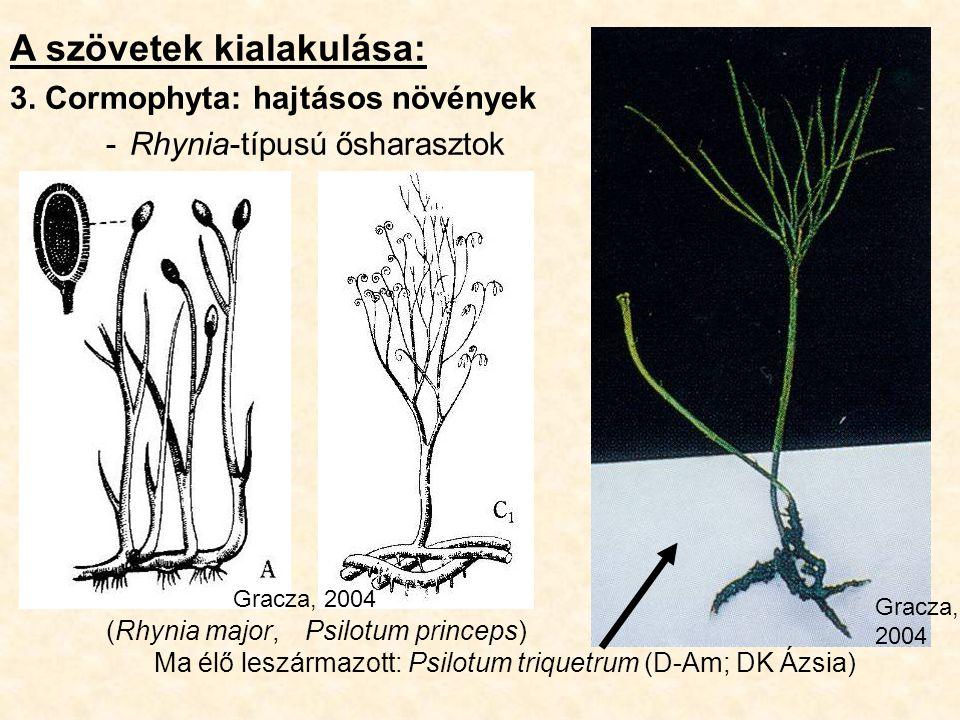 A szövetek kialakulása: 3. Cormophyta: hajtásos növények -Rhynia-típusú ősharasztok (Rhynia major, Psilotum princeps) Ma élő leszármazott: Psilotum tr