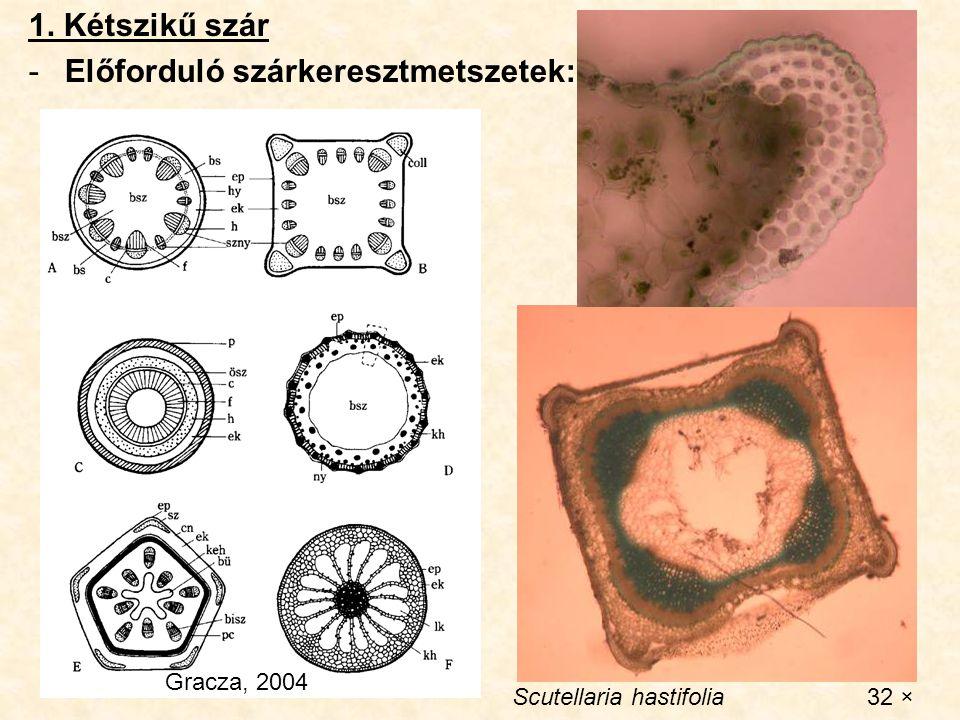1. Kétszikű szár -Előforduló szárkeresztmetszetek: Gracza, 2004 Scutellaria hastifolia 32 ×