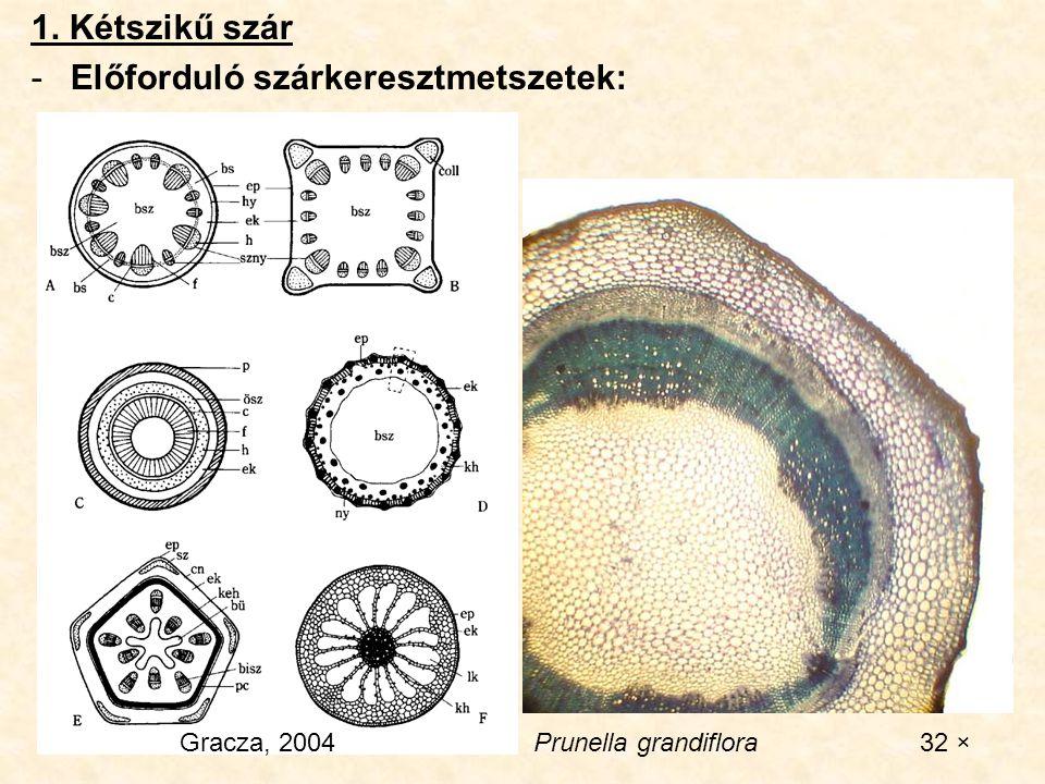 1. Kétszikű szár -Előforduló szárkeresztmetszetek: Gracza, 2004Prunella grandiflora 32 ×