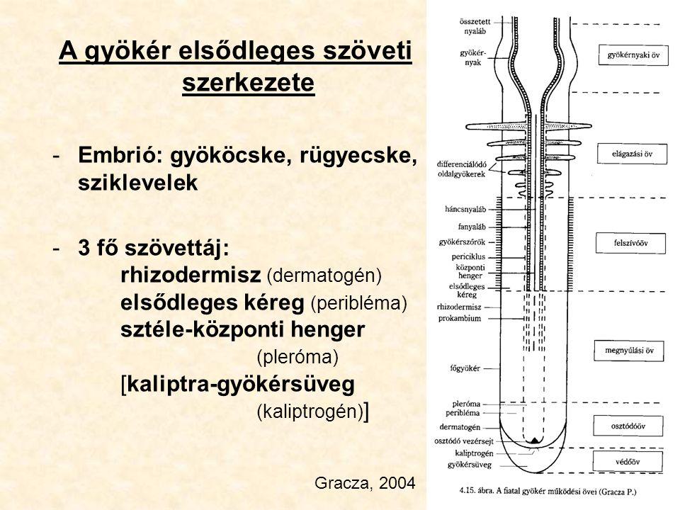 A gyökér elsődleges szöveti szerkezete -Embrió: gyököcske, rügyecske, sziklevelek -3 fő szövettáj: rhizodermisz (dermatogén) elsődleges kéreg (periblé