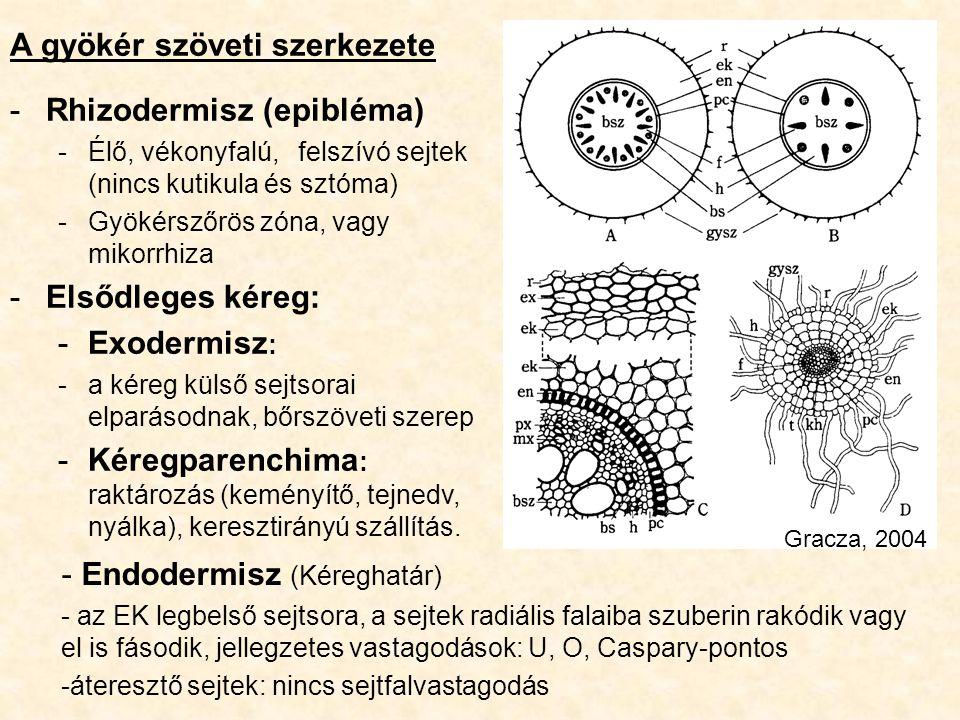 A gyökér szöveti szerkezete -Rhizodermisz (epibléma) -Élő, vékonyfalú,felszívó sejtek (nincs kutikula és sztóma) -Gyökérszőrös zóna, vagy mikorrhiza -
