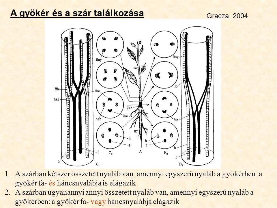 A gyökér és a szár találkozása Gracza, 2004 1.A szárban kétszer összetett nyaláb van, amennyi egyszerű nyaláb a gyökérben: a gyökér fa- és háncsnyaláb