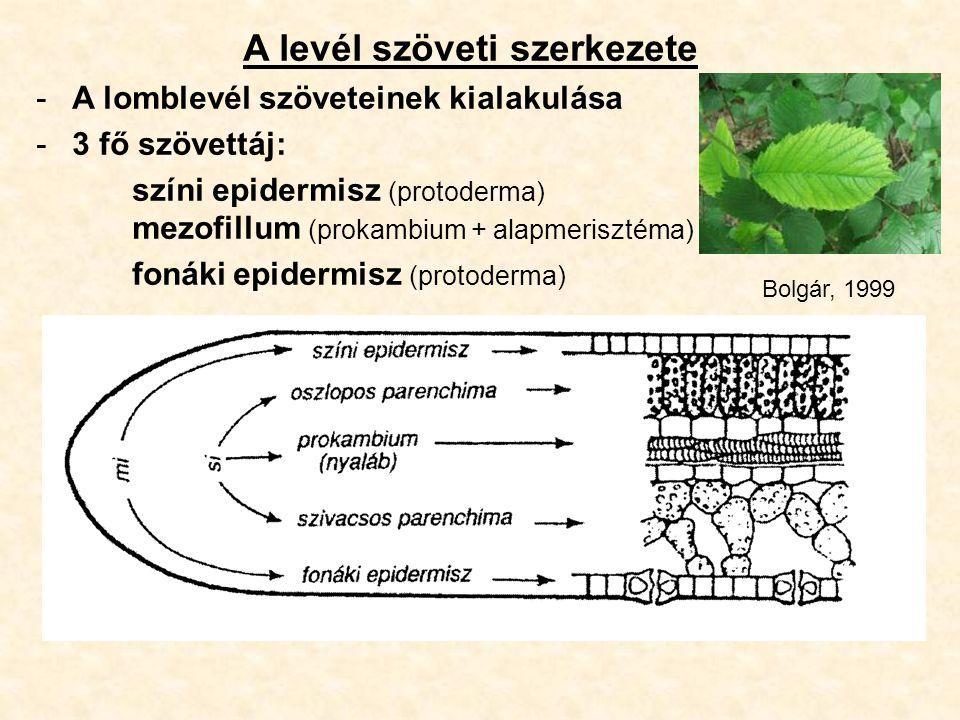 A levél szöveti szerkezete -A lomblevél szöveteinek kialakulása -3 fő szövettáj: színi epidermisz (protoderma) mezofillum (prokambium + alapmerisztéma