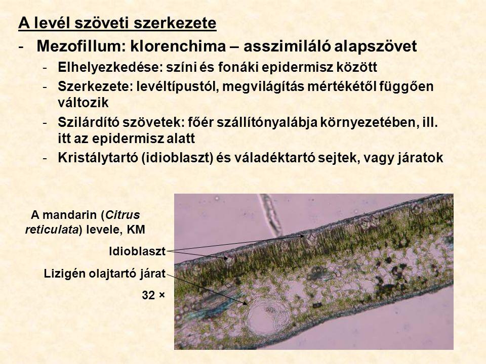 A levél szöveti szerkezete -Mezofillum: klorenchima – asszimiláló alapszövet -Elhelyezkedése: színi és fonáki epidermisz között -Szerkezete: levéltípu