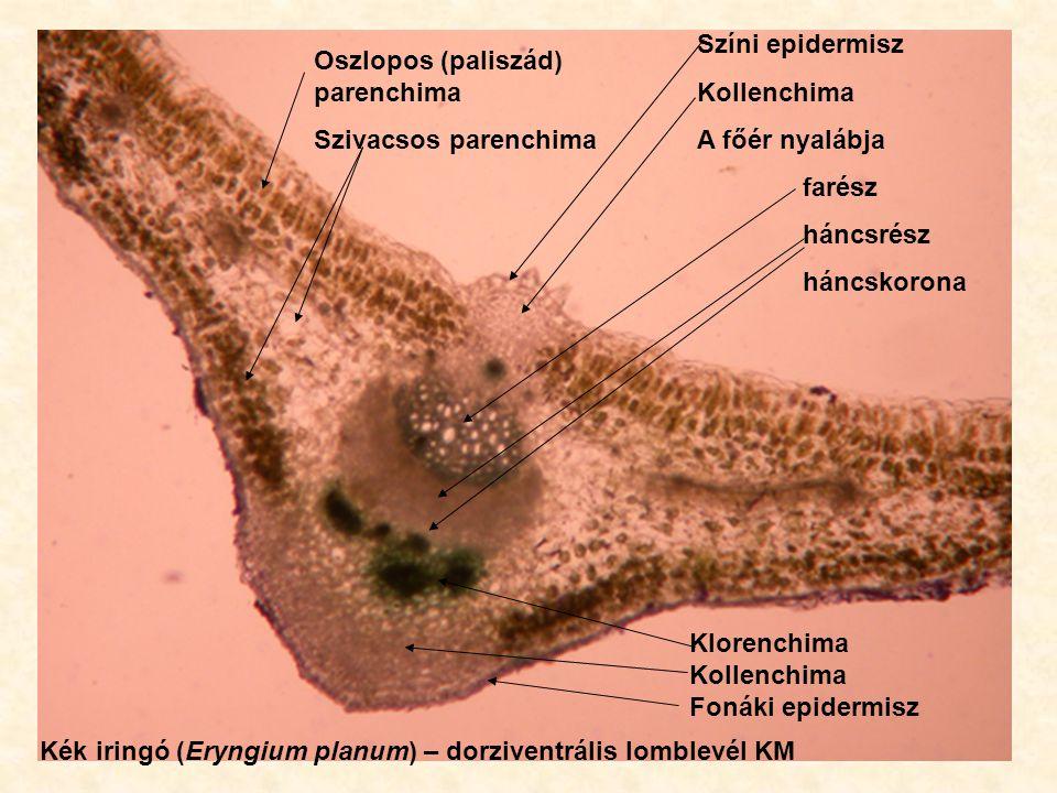 Színi epidermisz Kollenchima A főér nyalábja farész háncsrész háncskorona Klorenchima Kollenchima Fonáki epidermisz Oszlopos (paliszád) parenchima Szi