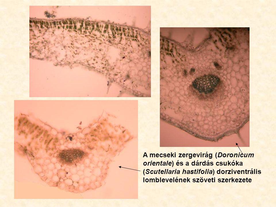 A mecseki zergevirág (Doronicum orientale) és a dárdás csukóka (Scutellaria hastifolia) dorziventrális lomblevelének szöveti szerkezete