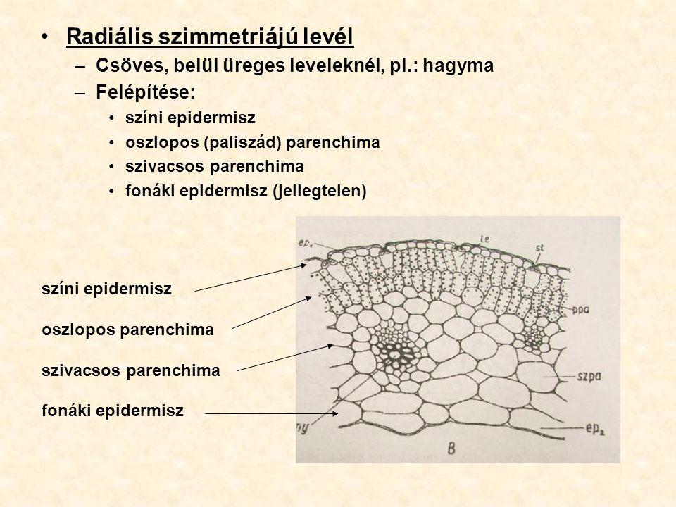 Radiális szimmetriájú levél –Csöves, belül üreges leveleknél, pl.: hagyma –Felépítése: színi epidermisz oszlopos (paliszád) parenchima szivacsos paren