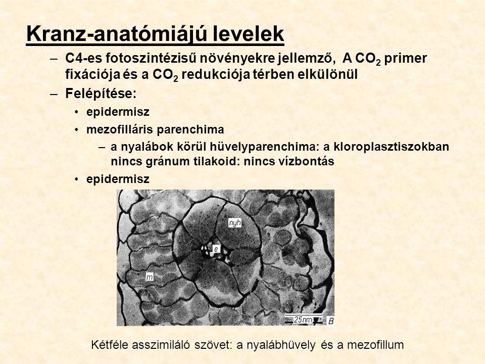 Kranz-anatómiájú levelek –C4-es fotoszintézisű növényekre jellemző, A CO 2 primer fixációja és a CO 2 redukciója térben elkülönül –Felépítése: epiderm