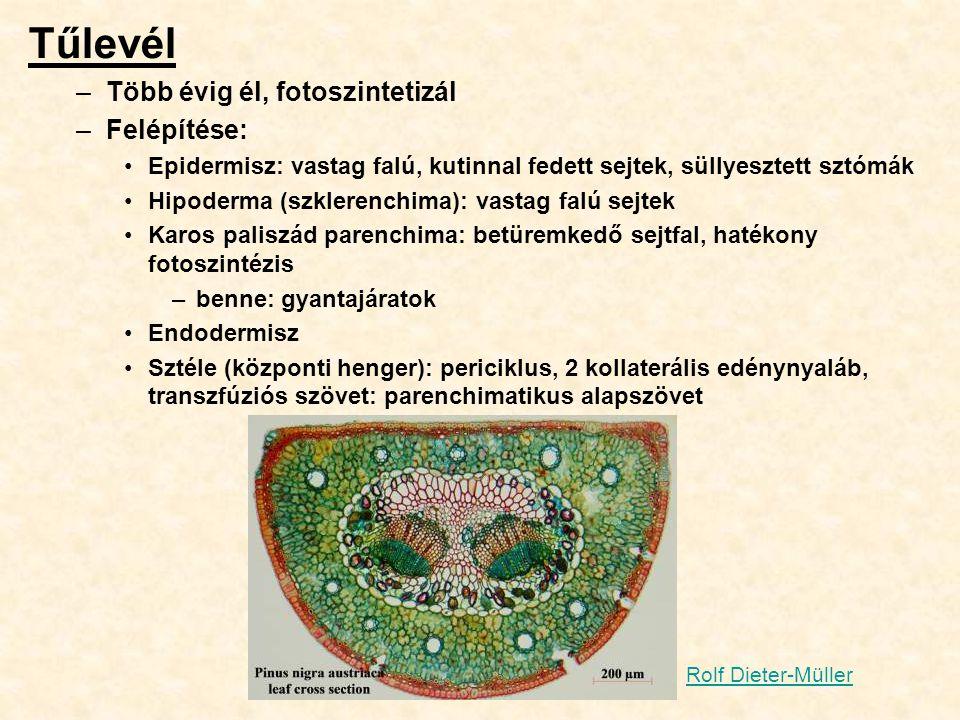 Tűlevél –Több évig él, fotoszintetizál –Felépítése: Epidermisz: vastag falú, kutinnal fedett sejtek, süllyesztett sztómák Hipoderma (szklerenchima): v