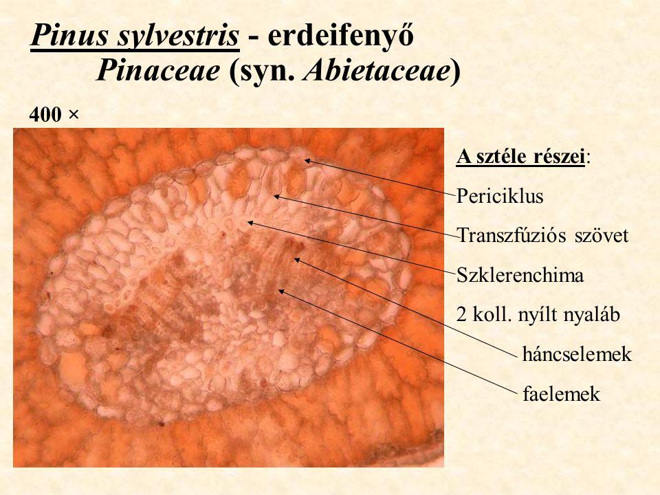 Pinus sylvestris - erdeifenyő Pinaceae (syn. Abietaceae) 400 × A sztéle részei: Periciklus Transzfúziós szövet Szklerenchima 2 koll. nyílt nyaláb hánc