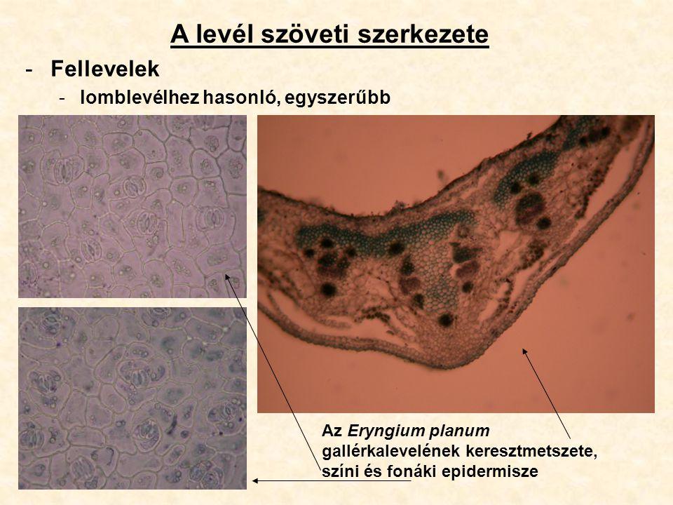 A levél szöveti szerkezete -Fellevelek -lomblevélhez hasonló, egyszerűbb Az Eryngium planum gallérkalevelének keresztmetszete, színi és fonáki epiderm