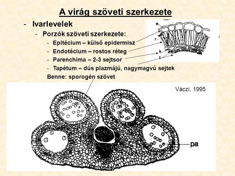 A virág szöveti szerkezete -Ivarlevelek -Porzók szöveti szerkezete: -Epitécium – külső epidermisz -Endotécium – rostos réteg -Parenchima – 2-3 sejtsor