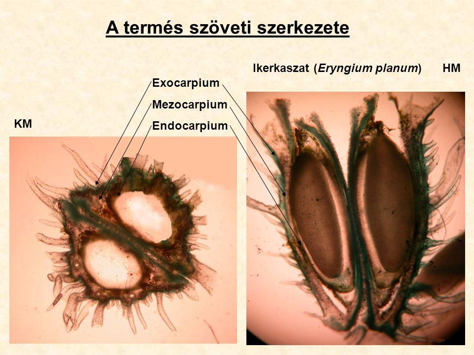 A termés szöveti szerkezete Exocarpium Mezocarpium Endocarpium Ikerkaszat (Eryngium planum)HM KM