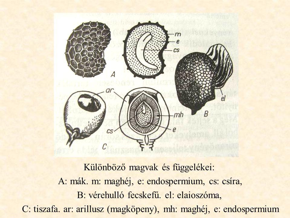 Különböző magvak és függelékei: A: mák. m: maghéj, e: endospermium, cs: csíra, B: vérehulló fecskefű. el: elaioszóma, C: tiszafa. ar: arillusz (magköp