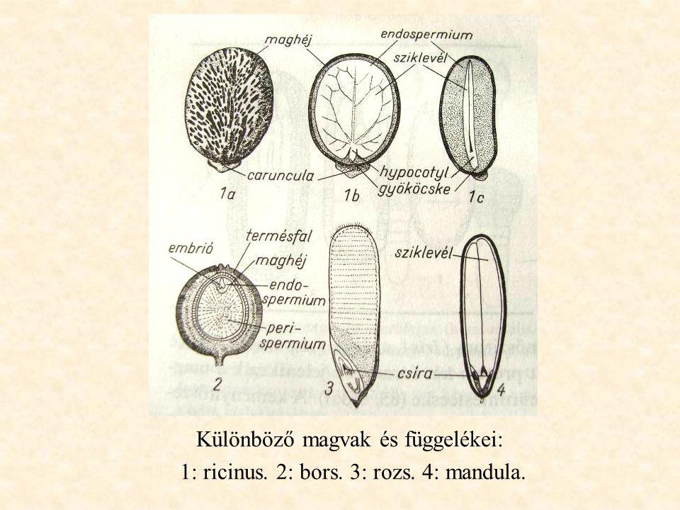 Különböző magvak és függelékei: 1: ricinus. 2: bors. 3: rozs. 4: mandula.